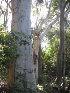 scribbly gum in bushland setting